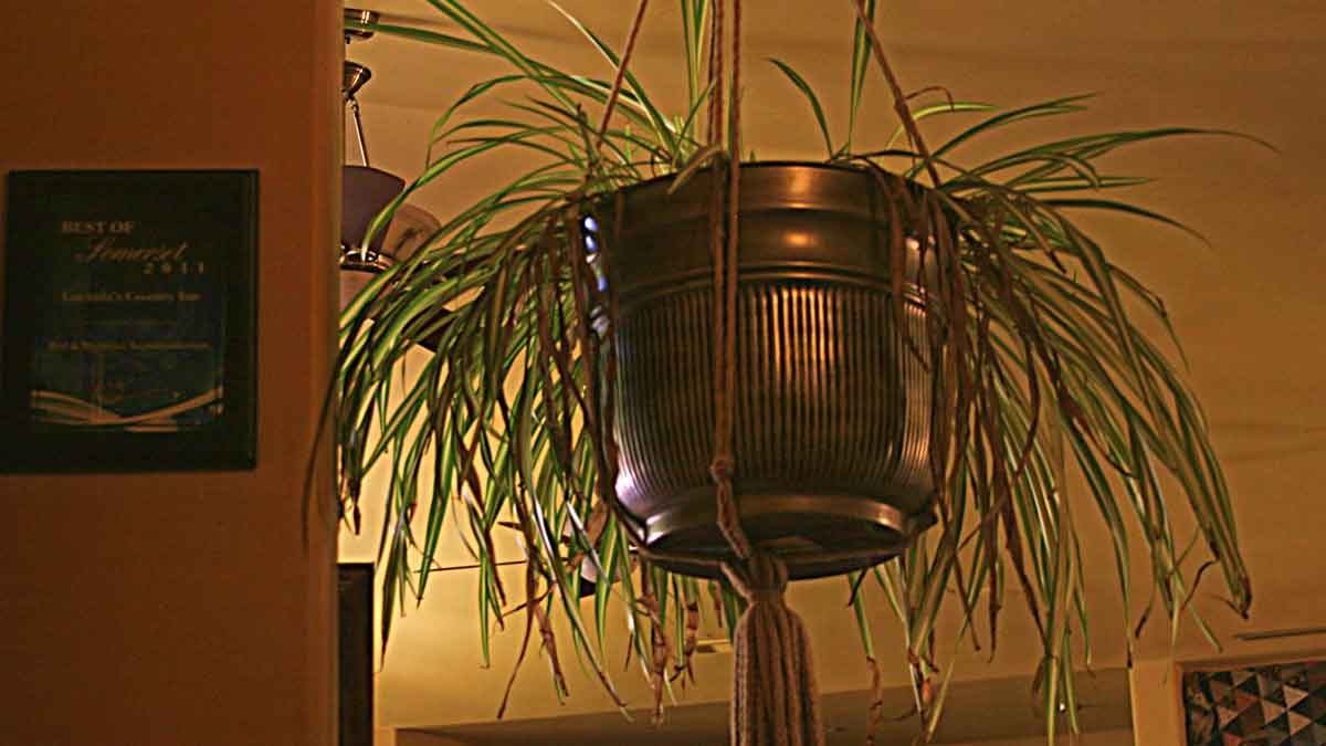 A hanging green spider plant in a bronze planter on the edge of the Great Room.
