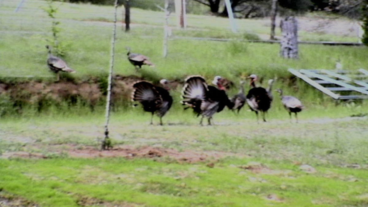 A group of turkeys with tom's tails fanned strolling in green grass with hens.
