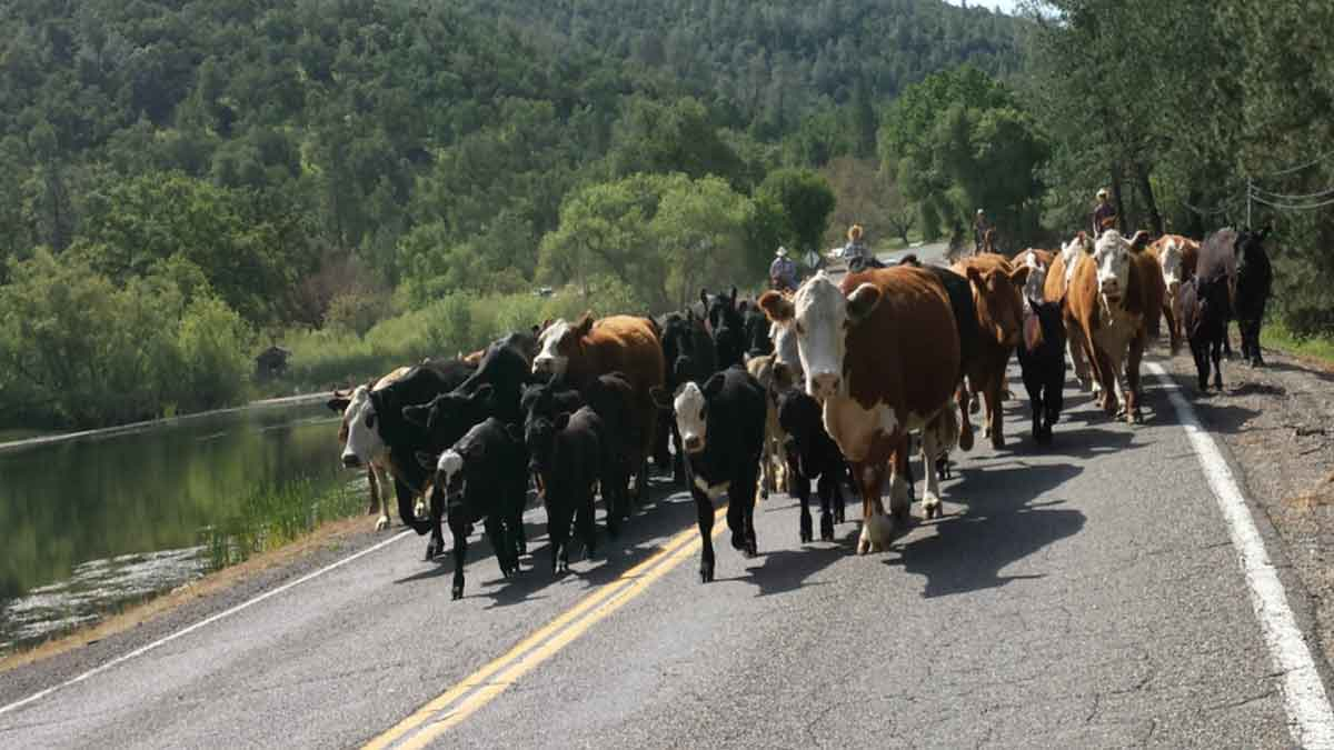 A small herd of black, brown and white cattle being herded along Mt. Aukum Road.