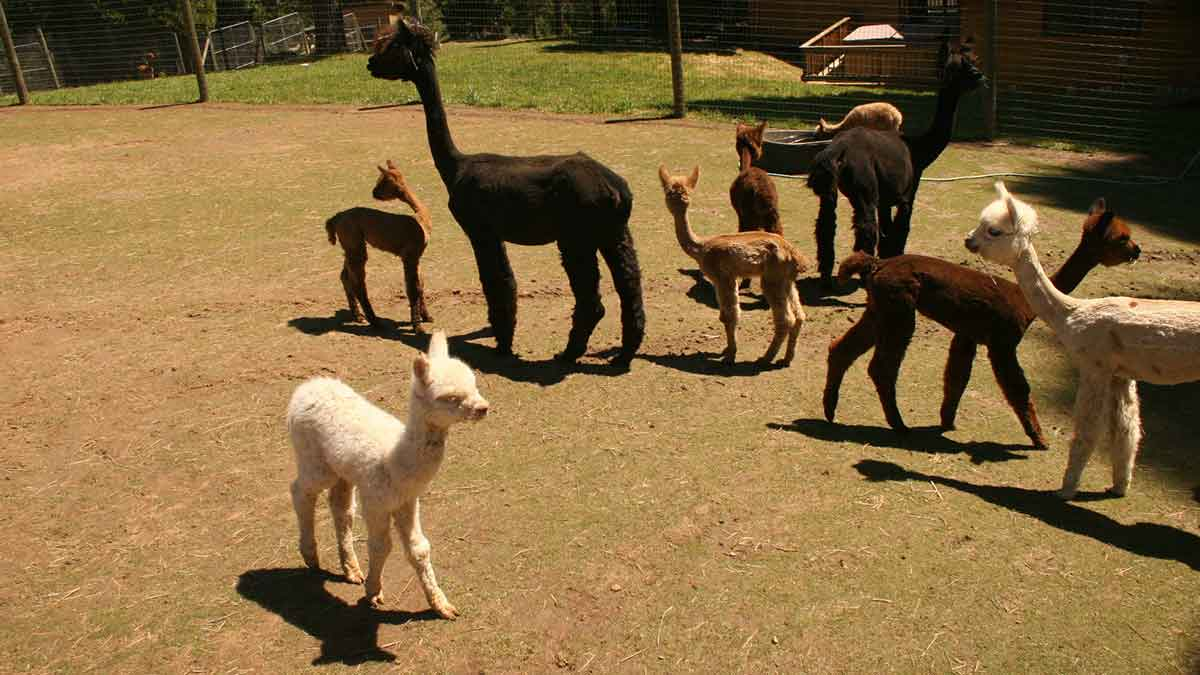 A group of Alpacas of various ages, some white, some brown, some black.