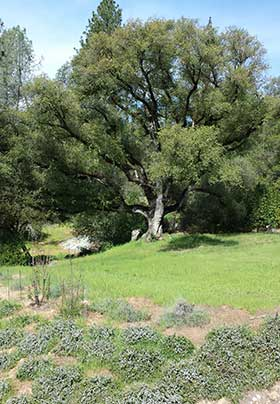 Large Oak Tree in the Background across the Grass from Blooming Rosemary Plants
